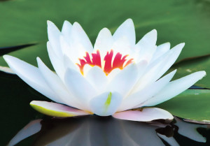 lotus-flower-2-with-red